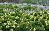 牡丹開始進入中晚期花季,有一種豔麗強勢攻佔人們感官