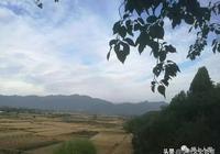 華州塬上的銀杏
