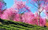 滿山的櫻花——大理無量山櫻花谷