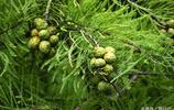 這兩種樹的果很相似,一種是池杉果,另一種是松樹果,您認識哪種