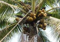 海南人是如何吃椰子的?