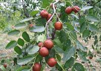 秋季怎麼栽植棗樹?秋季栽植棗樹注意要點