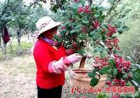 甘肅臨夏積石山:花椒喜獲豐收(圖)