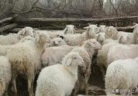 養羊人說這樣養羊,羊長的快!