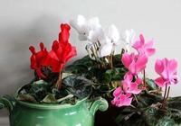 香氣撲鼻的仙客來盆栽,原來是用塊莖繁殖的