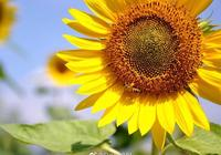 陽光燦爛的日子,最適合來福州花海公園看盛開的向日葵