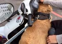 金毛趁紅燈主動換主人,跳上隔壁的車背對主人,當面嘗試離家出走