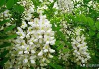 又是一年槐花白,懷念您做的蒸槐花——寫給天國的母親(三十四)