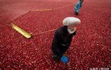 見過蔓越莓海麼?真是太壯觀了