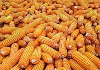 玉米市場觀察:賣糧請把握元旦、春節兩個時間點!