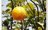四川成都市金堂縣:龍泉山北段的果樹