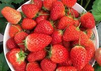 草莓刮點皮,扔土裡芽直冒,果子雞蛋大,吃不完!