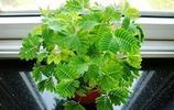 植物圖集:含羞草植物美圖