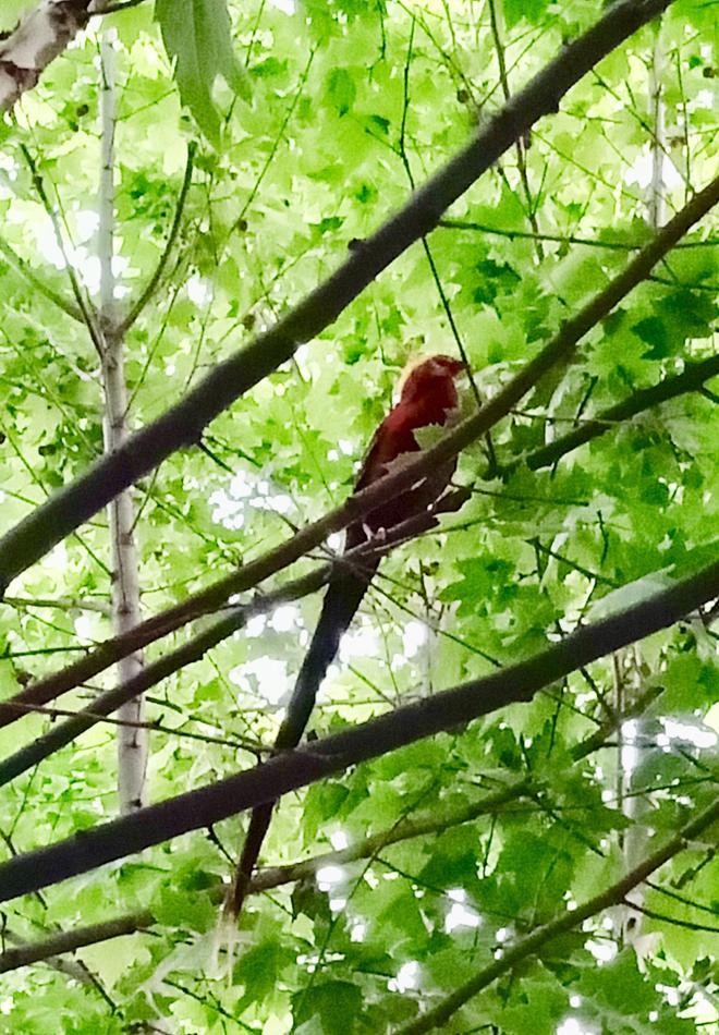 四川春天最美的校園,一排梧桐樹,如今引來了紅嘴藍鵲!