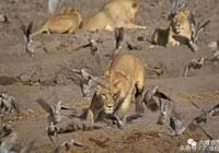 一隻斑鳩被獅子獵殺了,卻拯救了千萬只斑鳩?