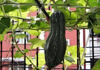 在陽臺種花種膩了!不防試試種這幾樣四季蔬菜吧,一家人都吃不完