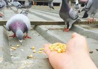 鴿子喂太飽不好 上躥下跳親和差