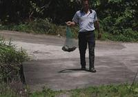 明溪:國家二級保護動物棘胸蛙放歸大自然