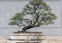 盆栽盆景——胡頹子盆景製作