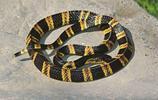 廣東十大毒蛇,眼鏡蛇第六,眼鏡蛇第三,竹葉青奪榜首