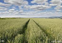 農民常說:寸麥不怕尺水,尺麥但怕寸水,為什麼呢?