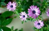 深藏在心底的愛——雛菊