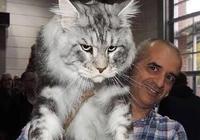 巨貓,一隻可以吃到你破產的緬因貓