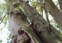 三:沉香的結香樹種有哪些?