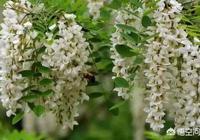農村樹上的槐花是開開了好吃還是未開開的花好吃?營養價值一樣嗎?