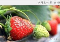 草莓種植全攻略|草莓產量高、效益好,但你知道種植出好草莓的祕笈嗎?