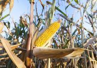 農村種植玉米都要學會這6招!不然產量不好,秋收時收入也會減少