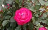 玫瑰 花開