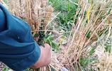 老家小麥即將成熟,在城裡的打工的農民,為啥遲遲不返鄉收麥