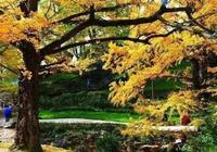 這座秋天最美的小城,被評為世界古銀杏之鄉,中國最適宜居住城市