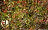 賞紅葉不一定得等到秋天,看這樹就夠了