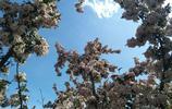 海棠花開在藍天裡