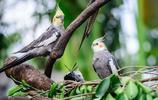 地球上6大最漂亮好看的鸚鵡,最愛純綠鸚鵡,你喜歡哪種?