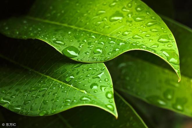 綠蘿等綠植為什麼總是發黃,如何才能讓綠蘿綠油亮?