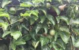 這些常吃的水果在樹上是什麼樣子的你們知道嗎?