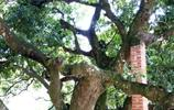 實拍:一棵千年樹精年產荔枝能賣十幾萬元,今成旅遊景點