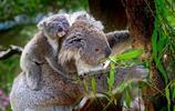 動物圖集:呆萌的樹袋熊