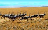 生物圖集:藏羚羊