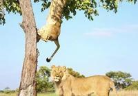 獅子下樹難,想不到另一頭獅子願意做其墊子