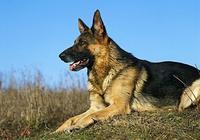 怎樣確定狗狗得了犬瘟熱和相關治療方法