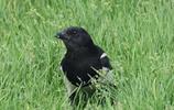 草地上的喜鵲