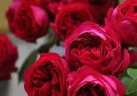 春天栽植月季品種,怎能少得了紅色龍沙寶石?花期長,耐熱又抗病