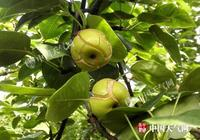 前期晴雨不均 灌陽翠冠梨裂果嚴重
