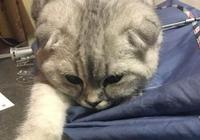 女朋友來家住幾天,家裡的貓很是高冷,幾天後男子吃醋了!