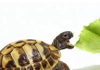 如何幫助陸龜排酸