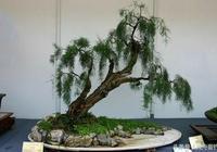 水旱盆景是山水盆景和樹木盆景的結合 是民族化的盆景藝術